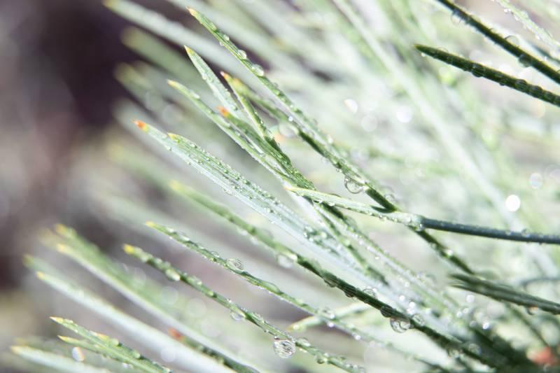 Pine-Needle-Dew-DSK